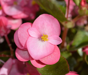 pink begonia flower plants , selective focus