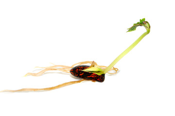 Runner bean with a long green leaf shoot, isolated