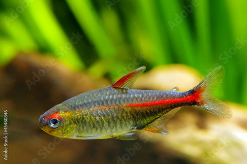 Glowlight Tetra fish