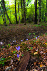 Beautiful wild crocus, Colchicum autumnale, flowers in the fall