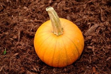 Pumpkin in Brown Mulch