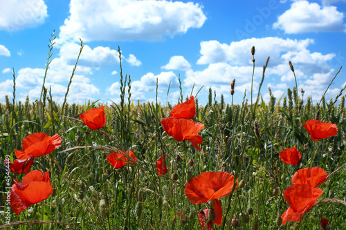 Poppies in a summer cornfield