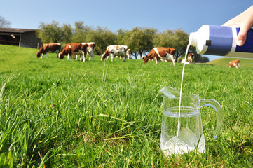 Pouring a jug with milk against herd of cows. Emmental, Switzerl