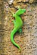 Madagascar day gecko ..