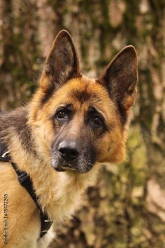 nachdenklicher schäferhund