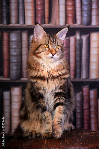 Brown Tabby Maine Coon cat in library