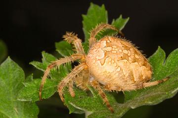 European garden spider / Araneus diadematus