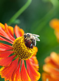 Honey bee (Apis mellifera) on helenium flower