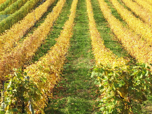 Vineyard in Montreux, Switzerland