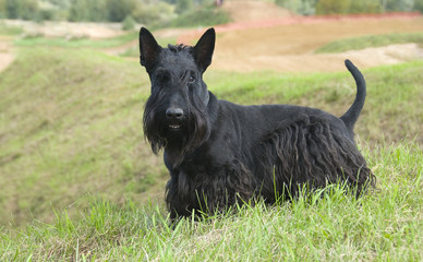 The Scottish Terrier (Scottie)