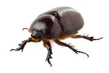 "European rhinoceros beetle female ""Oryctes nasicornis"" species"