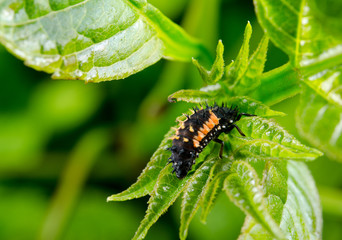 kleine Marienkäferlarve auf Brennnessel
