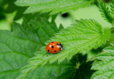seven spot ladybird sits on stinging nettle poster