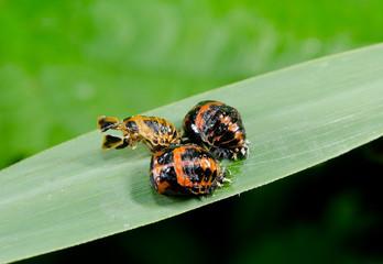 team metamorphosis on reed, ladybirds