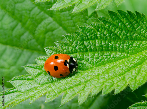 seven spotted ladybird on stinging nettle