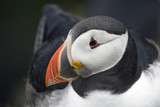 Puffin sitting on its nest, Lerwick, Shetland Islands