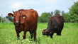Cows on pasture 8