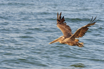 Brown Pelican Flying in Morning Light