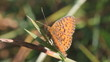 Nymphalidae butterfly