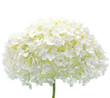 White Hydrangea Flower Blooms, Isolated Macro Closeup, Mophead