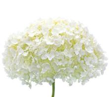 Blanc fleur d'hortensia fleurs, gros plan macro isolé, Mophead