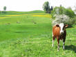 Cows among scenic hills in Emmental region, Switzerland