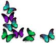 Vinous blue green morpho butterflies, isolated on white backgrou