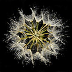 Close-up of dandelion seed head