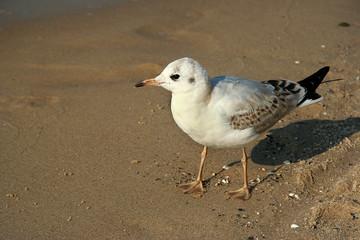 seagull, mewa