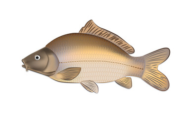 Carp fish (Cyprinus carpio) detailed vector illustration