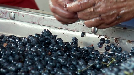 Manually partition of grapes on the conveyor line at a winery