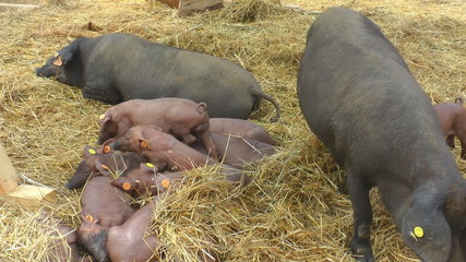 Pigs And Piglets On The Farm