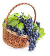 Dark grapes with leaves in a wicker basket, Isolated on white