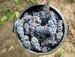 basket full of clusters in the vineyard during the grape harvest