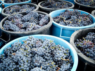 baskets full of clusters during the grape harvest