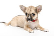 Chihuahua puppy wearing red collar  encrusted with rhinestones