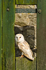 Barn owl on barn door