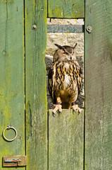 Eurasian Eagle Owl on barn door