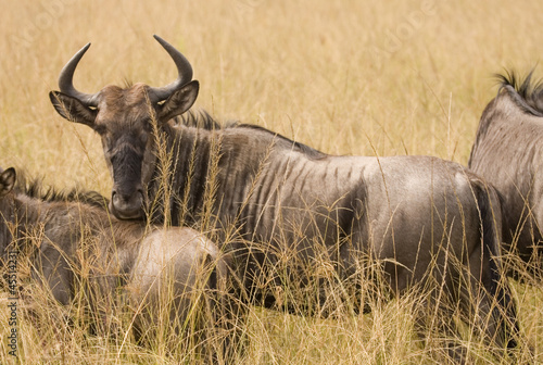 Wild antelope watches through the grassland.