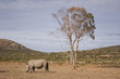 White Rhino on the plain under tree, South Africa