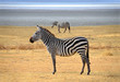Zebra posing and curiously looking on safari in Ngorongoro