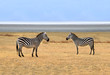 Two Zebras posing at Ngorongoro Plains