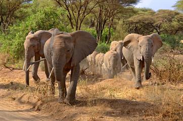 Big group of elephants walking in Lake Manyara