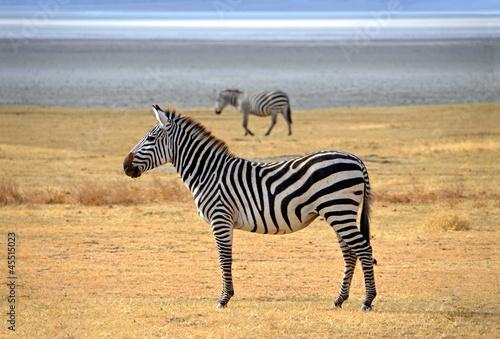 Zebra posing and curiously looking on safari in Ngorongoro