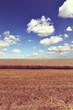 wheat field harvest
