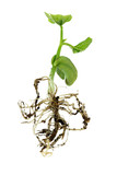 bean germinated plant, all in focus, except for first roots and poster