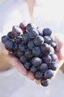 Hands holding red wine grapes