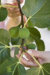 A woman showing figs on a tree