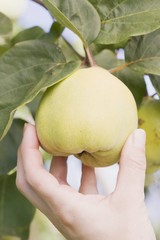 A hand reaching for a quince on a tree