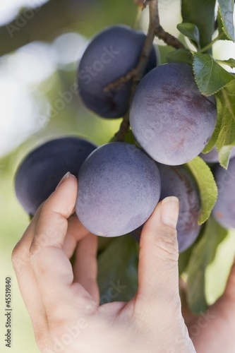 A hand reaching for plums on a tree